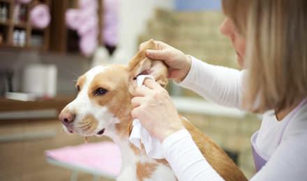 Eine Frau reinigt die Ohren eines Hundes mit einem Tuch