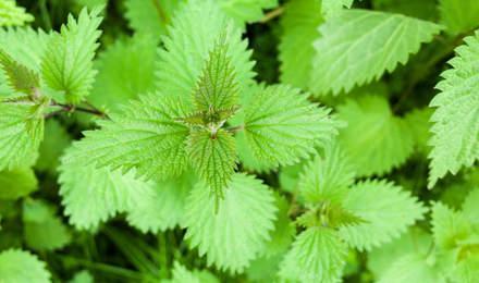 Nahaufnahme einer Brennessel Pflanze