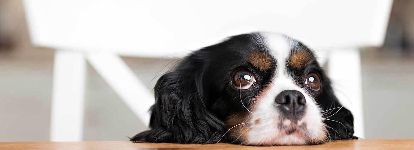 Ein kleiner Hund mit wässrigen Augen stützt seinen Kopf auf eine Küchenablage